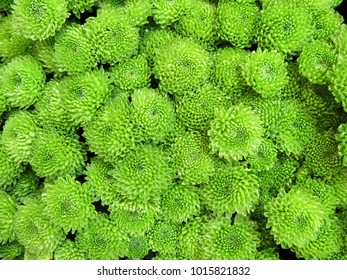 Bouquet of many bright green chrysanthemum flowers