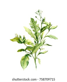 Bouquet of meadow herbs, grass. Botanical watercolor illustration