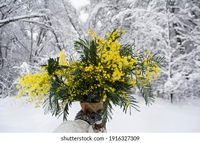 Bouquet of mimosa in your hands on the background of a winter forest. Yellow spring flowers. Hello spring concept