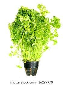 Bouquet of parsley tied on white background