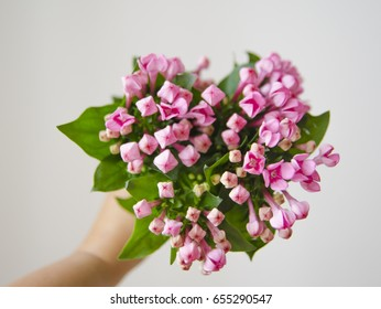 Bouquet of pink bouvardia.