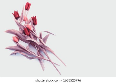 Bouquet of pink filtered tulips with stem. Spring white balloons on white background, with place for text, isolated, without anyone