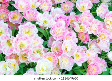Bouquet of pink flowers tulips as natural texture for background