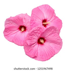 Bouquet pink hibiscus flowers isolated on white background. Flat lay, top view. Object, macro