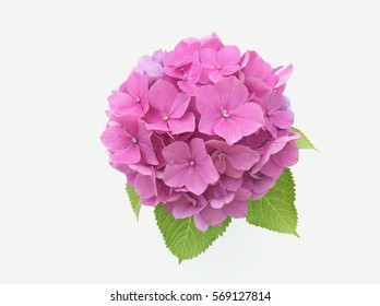 bouquet of pink  hydrangea  flower on white