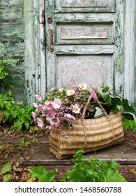 Bouquet of pink Japanese anemones on the background of a vintage door in a rural garden