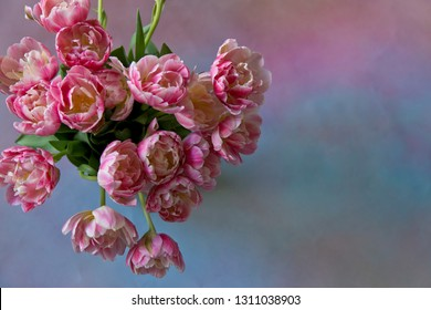 Bouquet of pink tulips (Tulipa Double Libretto) on a blue and pink background with free space on the right side