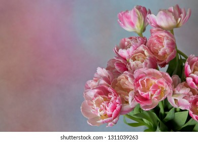 Bouquet of pink tulips (Tulipa Double Libretto) on a blue and pink background with free space on the left side