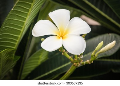 A bouquet of plumeria ( frangipani ) flowers on trees that specific flowers.