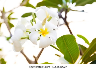 Bouquet of plumerias on the tree with natural bokeh background.  Background useage, photo source.