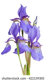 Bouquet of purple iris isolated on white