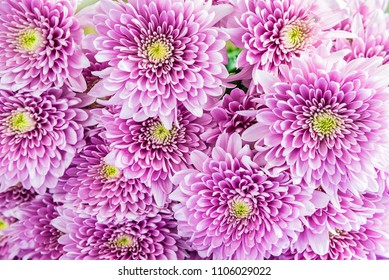 Bouquet of purple mums or chrysanths flowers top view close up