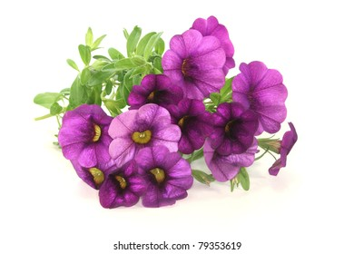 a bouquet of purple petunias on a white background