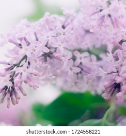 Bouquet of purple and white lilac close-up