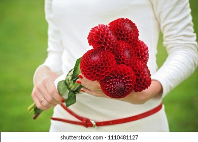 bouquet of red dahlia flowers in female hands with red manicure