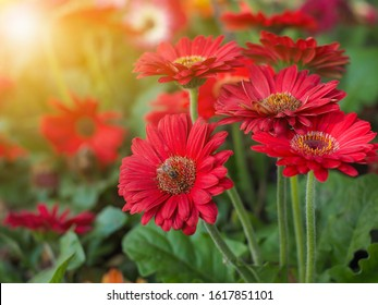 bouquet of red gerberas with morning light in the garden,Red Gerbera flowers.