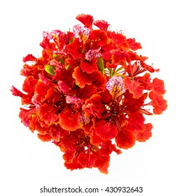 Bouquet of Red Gulmohar flowers on white background