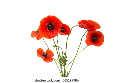 a bouquet of red poppies isolated on white background