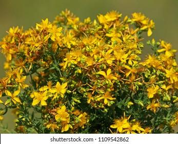 Bouquet of St John's wort flowers, Hypericum perforatum