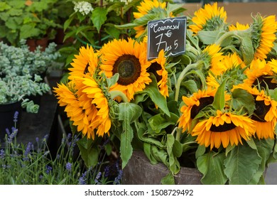 """Bouquet of sunflowers in the market. France. Translation: """"Sunflower. 7 euros for 5"""""""