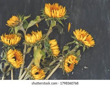 Bouquet sunflowers on dark background. Autumn harvest. Fading flowers herbarium. Floral art. Floral design. Botanical background.