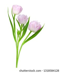 Bouquet of tender pink tulips isolated on a white background
