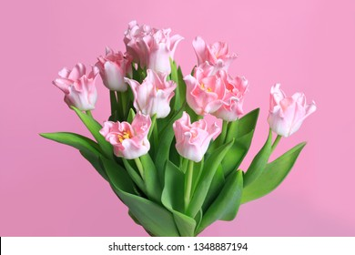 Bouquet of tender tulips isolated on pink background.