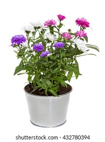Bouquet of three colors Aster Flowers in a silver metal flowerpot for inside and otside decoration on white background.