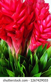 Bouquet of tropical pink and red ginger flower (alpinia purpurata)