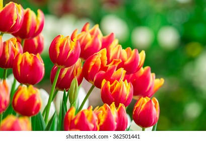 Bouquet of tulips on green background. Fresh spring flowers