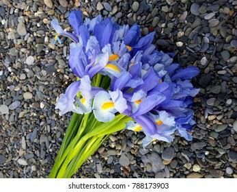 Bouquet of violet Irises (Bulbous iris, Iris sibirica) on gray pebble beach background. Top view of a flowers of violet iris on natural pebble stones. Iridarius.