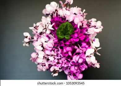 Bouquet of violet & pink cyclamens collected in forest. Cyclamen blossom season. Many flowers of wild cyclamen pattern on gray background. Floral spring texture of wild pink flowers & green leaf card
