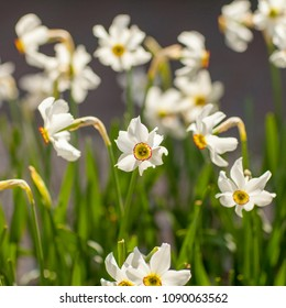 Bouquet of white daffodil flower in closeup