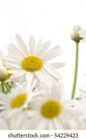 bouquet, of white daisies