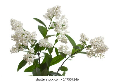 bouquet of white flowers,isolated