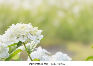 bouquet of white hydrangea flower blossom in morning garden and green background
