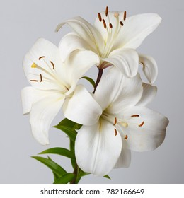 A bouquet of white lilies isolated on a gray background.