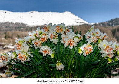 Bouquet of white and pink daffodil (narcissus) on blurred snow mountains background