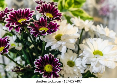 Bouquet of white and purple chrysanthemum. Golden-daisy. Natural background with limited depth of field.