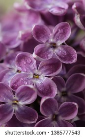 bouquet of white and purple lilac, spring flowers