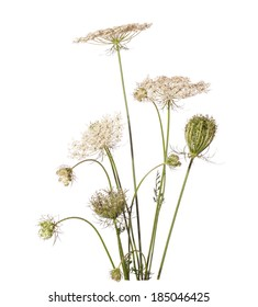 Bouquet of wildflowers isolated on white background. Daucus carota (wild carrot) - plant of Carrot Family.