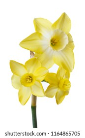 A bouquet of yellow daffodils isolated on white background.