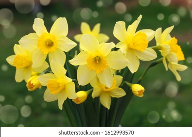 Bouquet of yellow daffodils in spring in the garden. Easter background