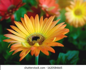 bouquet of yellow gerberas with the morning light in the garden, yellow Gerbera flowers.select focus