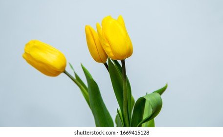 bouquet of yellow tulips on a white background, place for text. spring card.