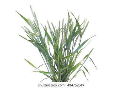 Bouquets of dried stalks of wheat on a white background