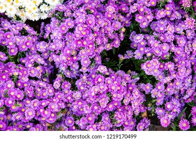Bouquets of flowers  Purple aster flowers Symphyotrichum Species, Hairy, Frost Aster, Hairy  Oldfield Aster, Wild Aster (Symphyotrichum Pilosum)