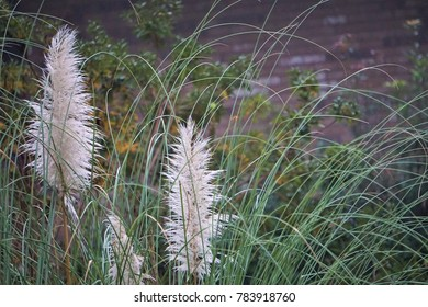 The bouquets of Pampas Grass (Cortaderia selloana) on the soft windy day looks beautiful in the garden background, Winter in GA USA.