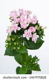 Bouvardia Diamond Lightpink - Flower
