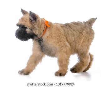 bouvier des flandres female puppy running on white background